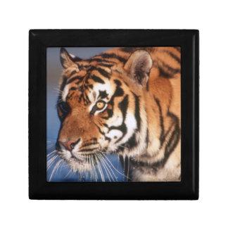 India, Bengal Tiger (Panthera Tigris) 2 Small Square Gift Box