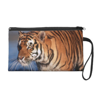 India, Bengal Tiger (Panthera Tigris) 2 Wristlet