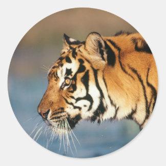 India, Bengal Tiger (Panthera Tigris) 4 Classic Round Sticker