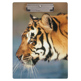 India, Bengal Tiger (Panthera Tigris) 4 Clipboard