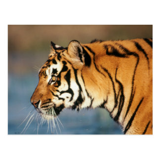 India, Bengal Tiger (Panthera Tigris) 4 Postcard