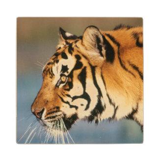 India, Bengal Tiger (Panthera Tigris) 4 Wood Coaster