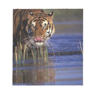 India. Bengal Tiger (Pathera tigris), captive Notepad