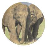 India, Nagarhole National Park. Asian elephant Dinner Plates
