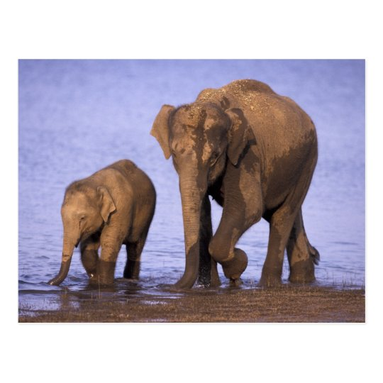 India, Nagarhole National Park. Asian elephant Postcard