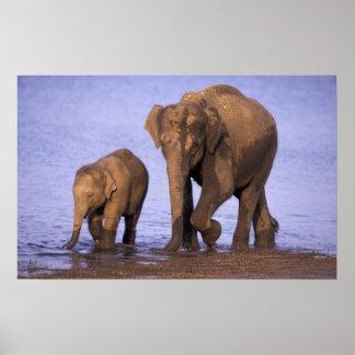 India, Nagarhole National Park. Asian elephant Poster