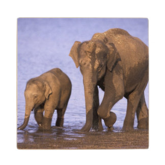 India, Nagarhole National Park. Asian elephant Wood Coaster