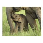 Indian / Asian Elephant and young one,Corbett 2 Postcard