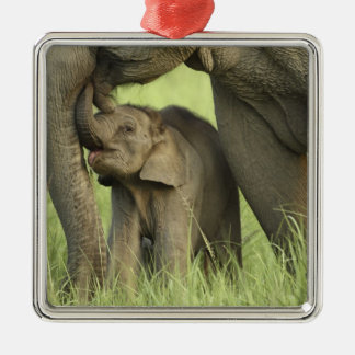 Indian / Asian Elephant and young one,Corbett 2 Silver-Colored Square Decoration