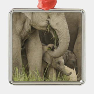 Indian / Asian Elephant and young one,Corbett 3 Silver-Colored Square Decoration