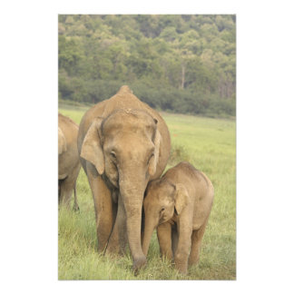 Indian / Asian Elephant and young one,Corbett Photo Print