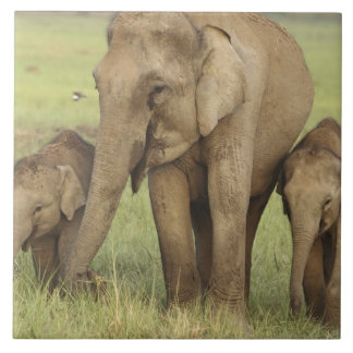 Indian / Asian Elephant and young ones,Corbett Large Square Tile