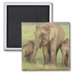 Indian / Asian Elephant and young ones,Corbett Square Magnet