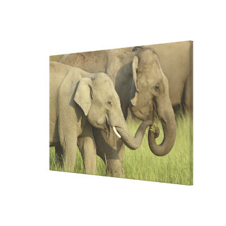 Indian / Asian Elephant asking for food;Corbett Canvas Print
