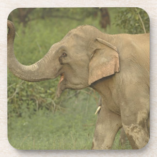Indian / Asian Elephant communicating,Corbett 2 Coaster
