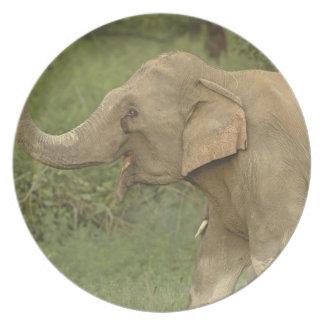Indian / Asian Elephant communicating,Corbett 2 Dinner Plates