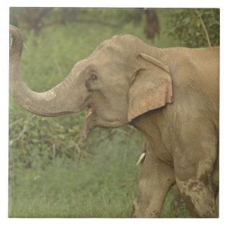 Indian / Asian Elephant communicating,Corbett 2 Large Square Tile