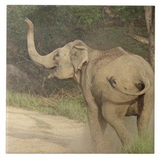 Indian / Asian Elephant communicating,Corbett Large Square Tile
