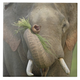 Indian / Asian Elephant displaying food,Corbett 2 Large Square Tile