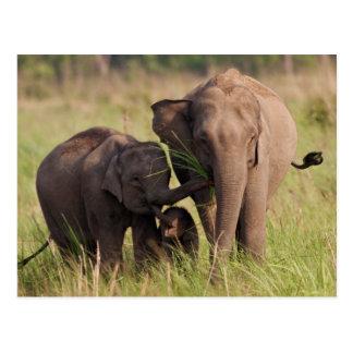Indian Asian Elephant family in the savannah Postcard