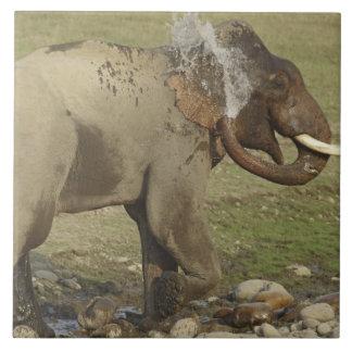 Indian / Asian Elephant spraying water,Corbett Large Square Tile