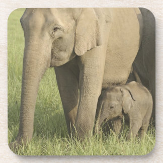 Indian / Asian Elephants and young one,Corbett Drink Coaster