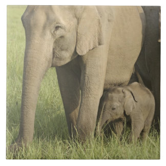 Indian / Asian Elephants and young one,Corbett Large Square Tile