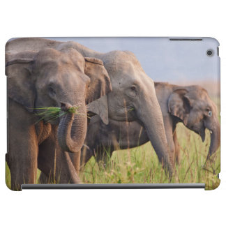 Indian Asian Elephants displaying grass
