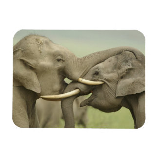Indian / Asian Elephants play fighting,Corbett 2 Magnet