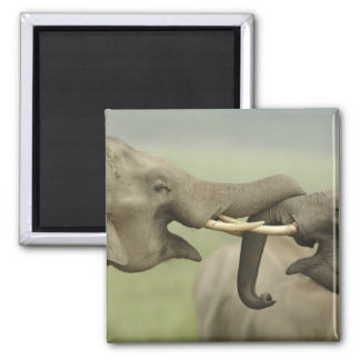Indian / Asian Elephants play fighting,Corbett Magnet