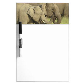 Indian / Asian Elephants sharing a Dry Erase Board
