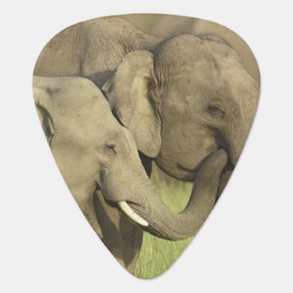 Indian / Asian Elephants sharing a Plectrum