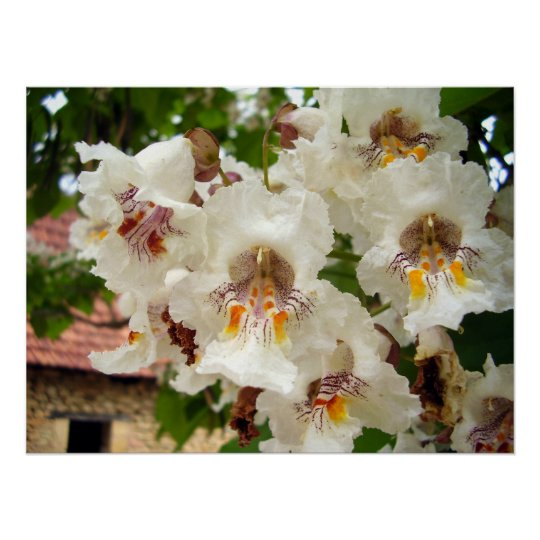 Indian Bean Tree Flowers Poster