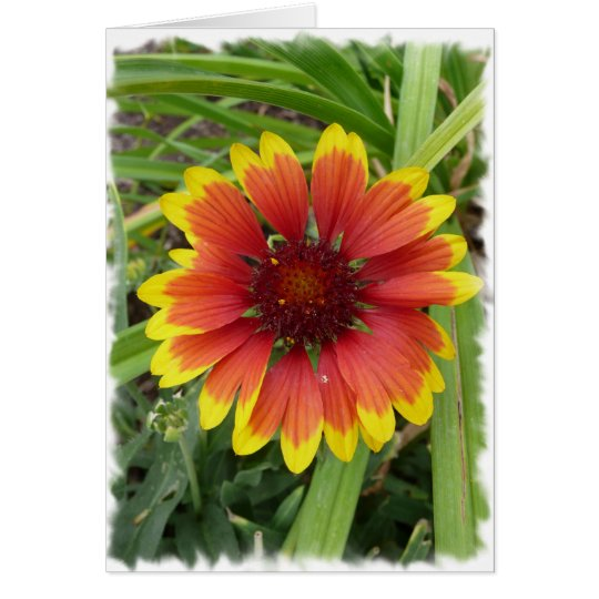 Indian Blanket Flower Card