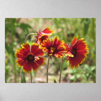Indian Blanket Wildflowers Poster
