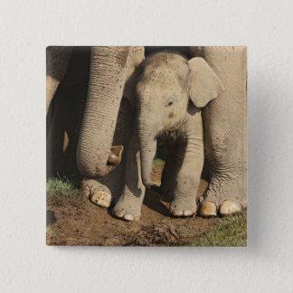 Indian Elephant calf,Corbett National Park, 15 Cm Square Badge