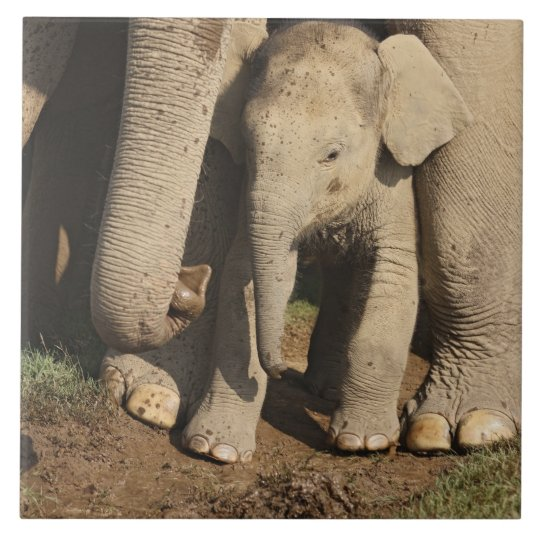 Indian Elephant calf,Corbett National Park, Large Square Tile