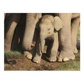 Indian Elephant calf,Corbett National Park, Postcard