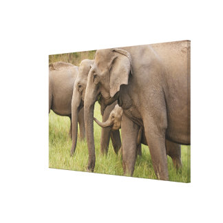 Indian Elephant calf playing with adults,Corbett Canvas Print