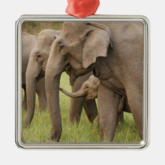 Indian Elephant calf playing with adults,Corbett Christmas Ornament