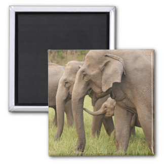 Indian Elephant calf playing with adults,Corbett Magnet