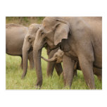 Indian Elephant calf playing with adults,Corbett Postcard