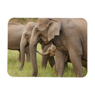 Indian Elephant calf playing with adults,Corbett Rectangular Photo Magnet