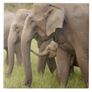 Indian Elephant calf playing with adults,Corbett Tile