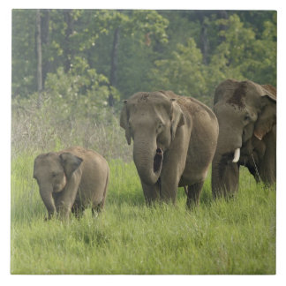 Indian Elephant family coming out of Large Square Tile