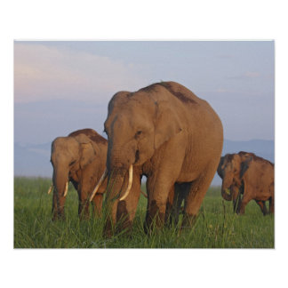 Indian Elephants in the grassland,Corbett Poster