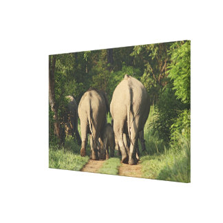 Indian Elephants on the jungle track,Corbett Canvas Print