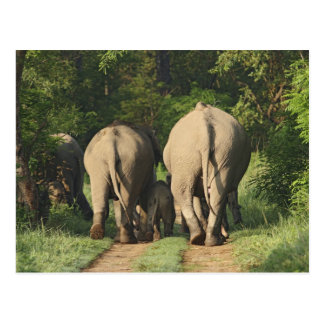 Indian Elephants on the jungle track,Corbett Postcard