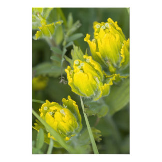 Indian Golden Paintbrush Castilleja Photo Print