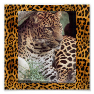 Indian Leopard Posters